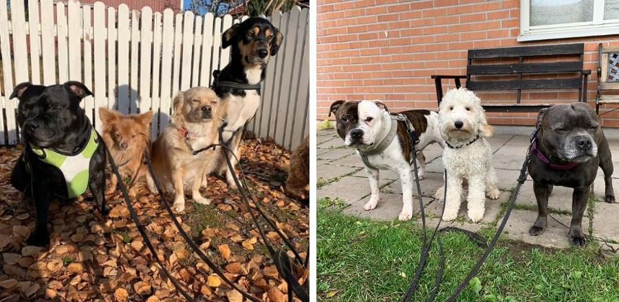 hundpassning-hundar-i-koppel-hundpensionat-stockholm